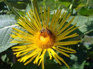 Biene-auf-einer-Alantbl Te-600--300x225 in Kräuter AG